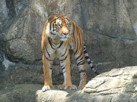 愛媛県立どべ動物園 トラ 1