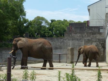 愛媛県立どべ動物園 アフリカゾウ 2