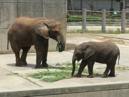 愛媛県立どべ動物園 アフリカゾウ 3