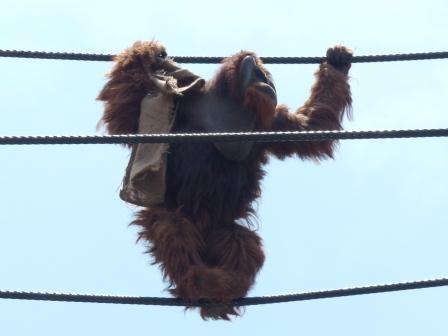 愛媛県立どべ動物園 スマトラ・オランウータン 3