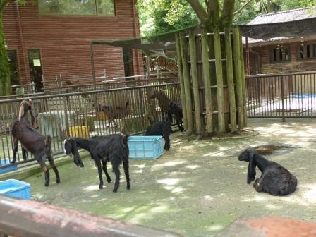 愛媛県立どべ動物園 ミミナガヤギ