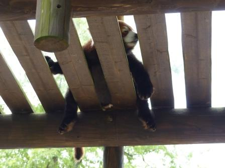 愛媛県立どべ動物園 レッサーパンダ 4