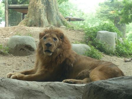 愛媛県立どべ動物園 ライオン 1