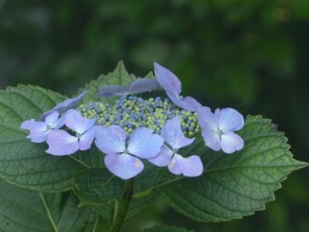 金山出石寺 紫陽花 12