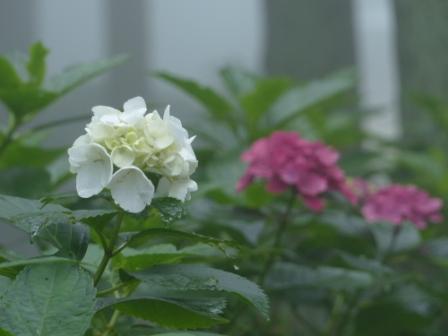 金山出石寺 紫陽花 7