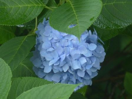 金山出石寺 紫陽花 15