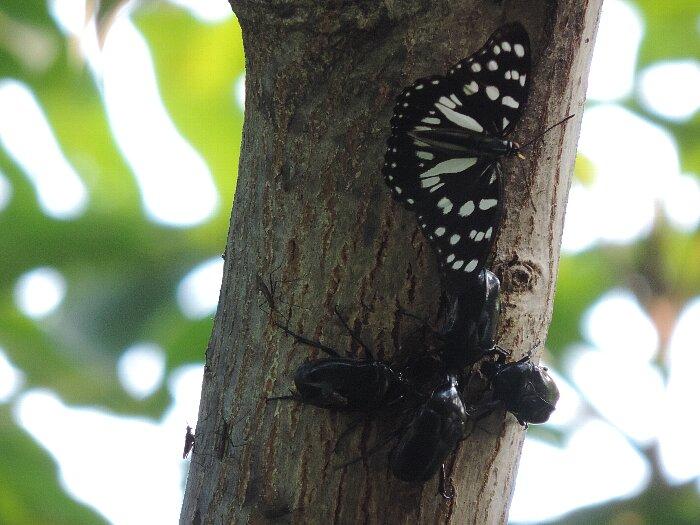 スミナガシとカブトムシ雌 (1)s