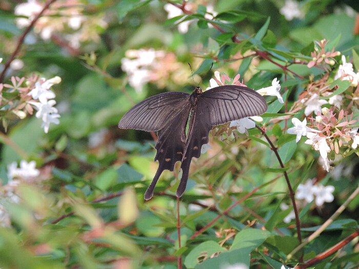 オナガアゲハチョウs
