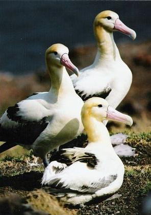 沖縄の尖閣諸島と伊豆諸島の鳥島でのみ繁殖が確認されているアホウドリ