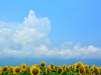 向日葵と夏空