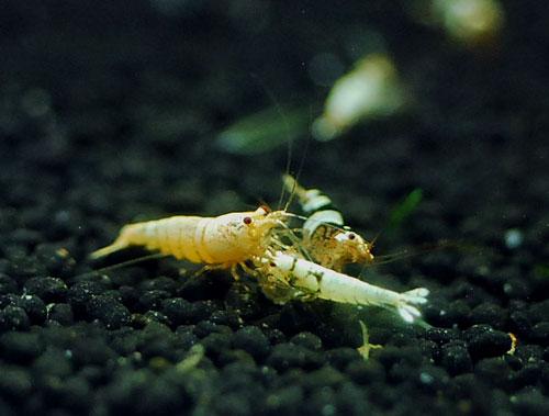 ハイブリットMix 001 HALshrimp