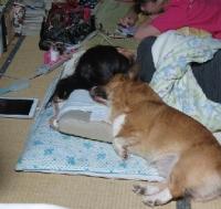 枕を使って寝るイヌ