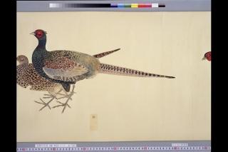 鳥類写生図「雉」