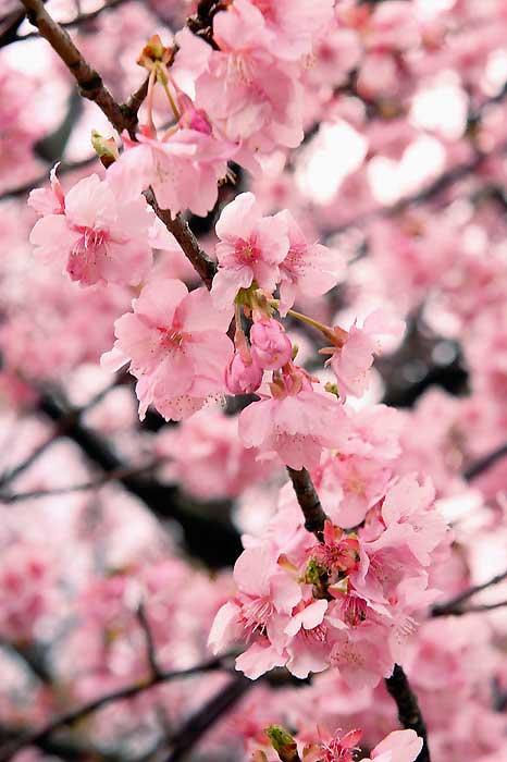 河津桜のピンク色が鮮やかです