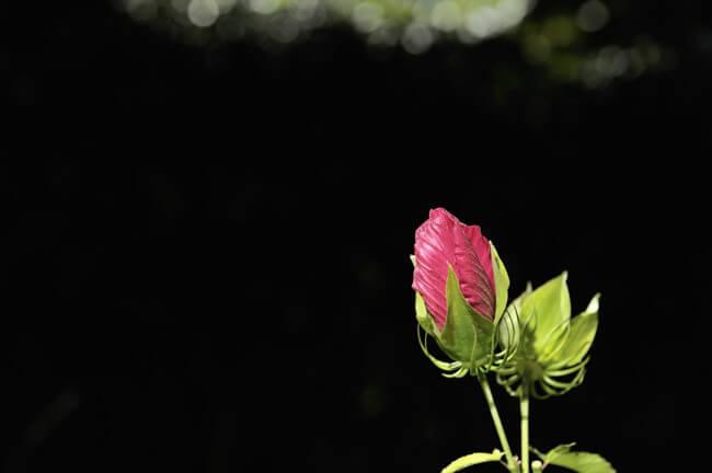 アメリカ芙蓉?蕾の色が独特です。