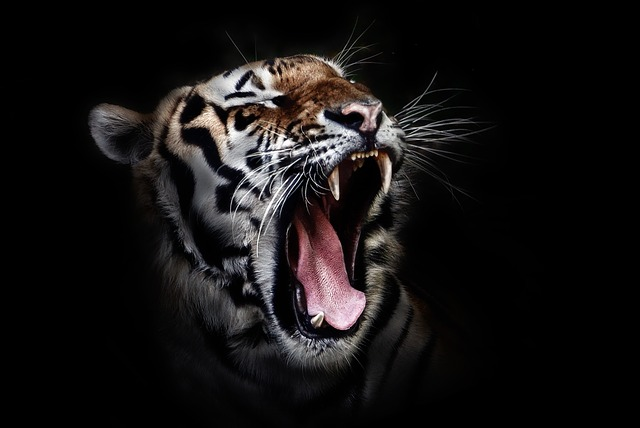 tiger-655593_640 - コピー