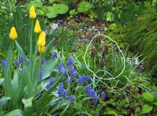 150204_hyahaneG_shakuyaku.jpg