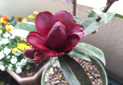 150309_0306_camellia.jpg