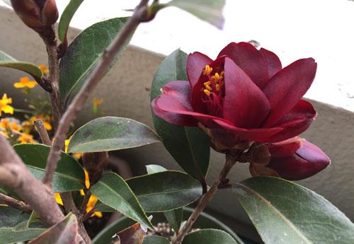 150309_0307_camellia.jpg