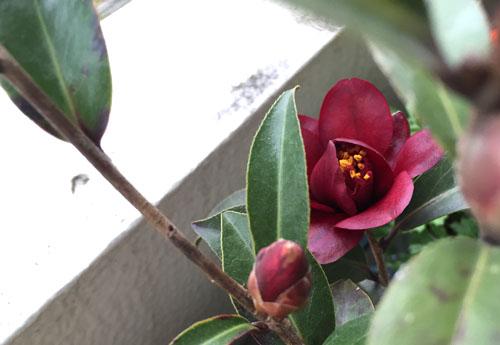 150309_0307_camellia2.jpg