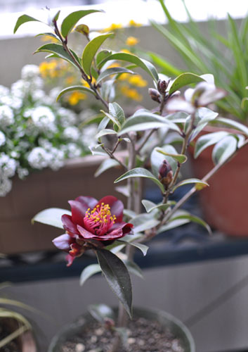 150309_0308_camellia2.jpg