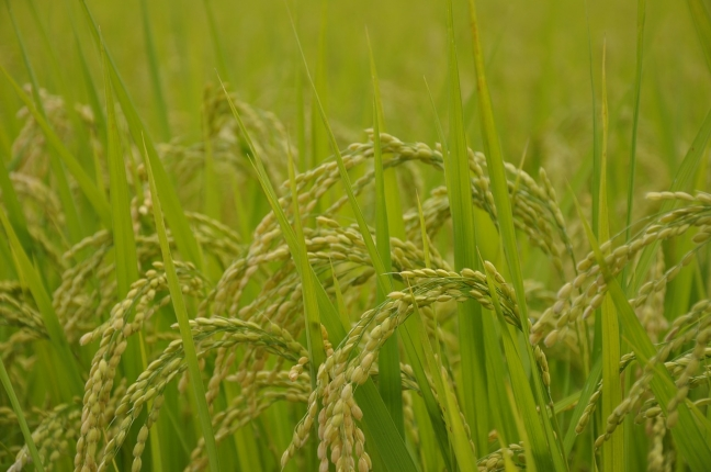 yamadas-rice-fields-285311_1280.jpg