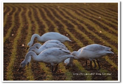 田んぼの白鳥