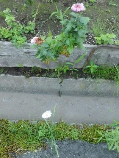 韮と菊の花