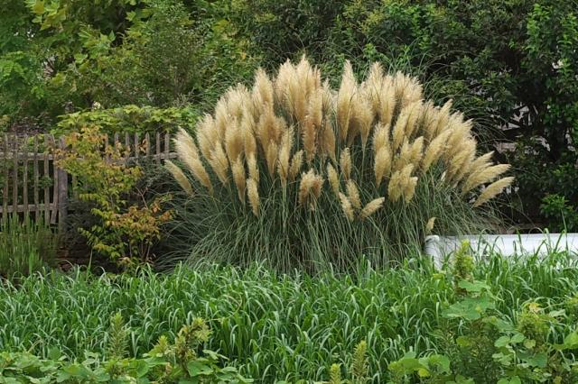 Pampas Grass-02