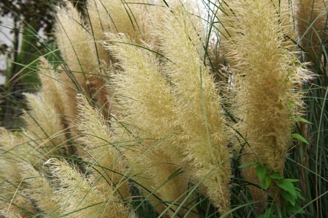 Pampas Grass-04