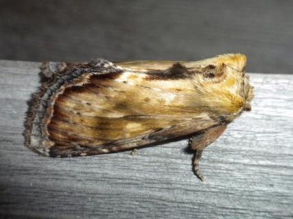 カバイロモクメシャチホコ