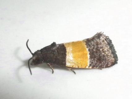 ヒロオビヒメハマキ