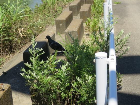 2015年7月赤川鉄橋09