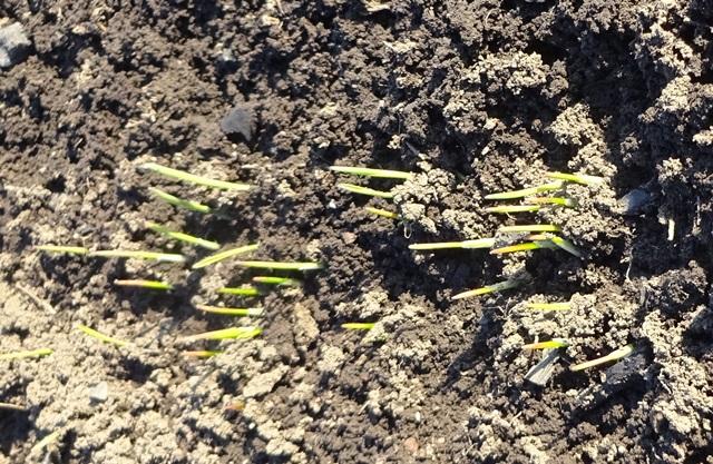 麦の発芽状況