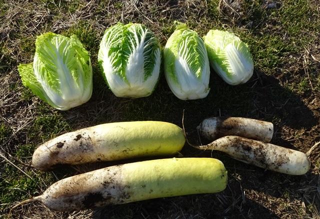 大根と白菜の収穫