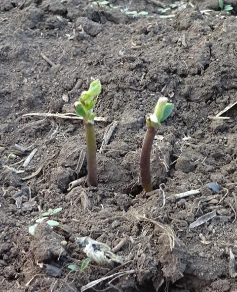見事に双葉を食べられた大豆
