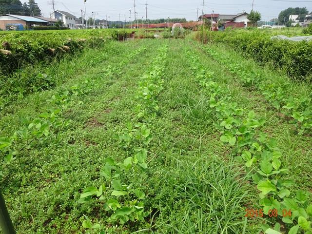 草ぼうぼうの大豆畑