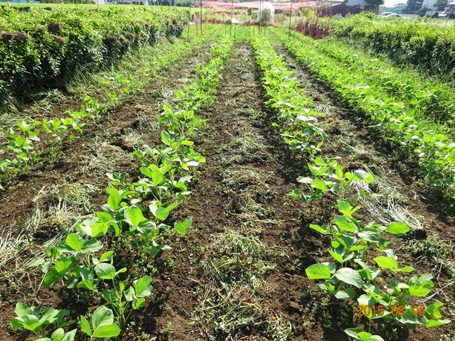 2/3ほど草取りを終えた大豆畑