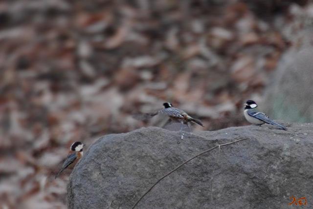 20150112野鳥庚申山06