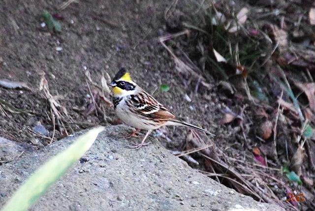 20150112野鳥庚申山05