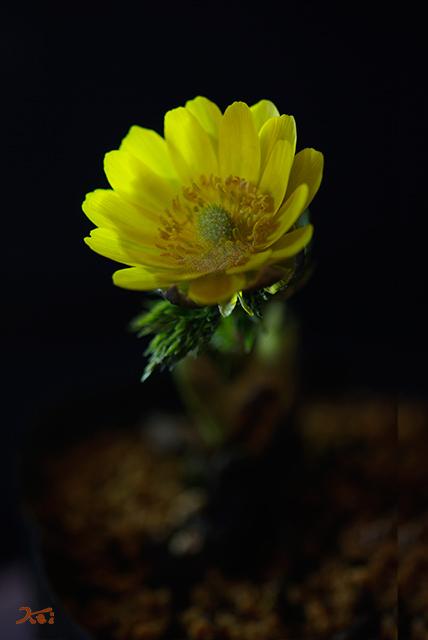 20150223自宅花撮り04