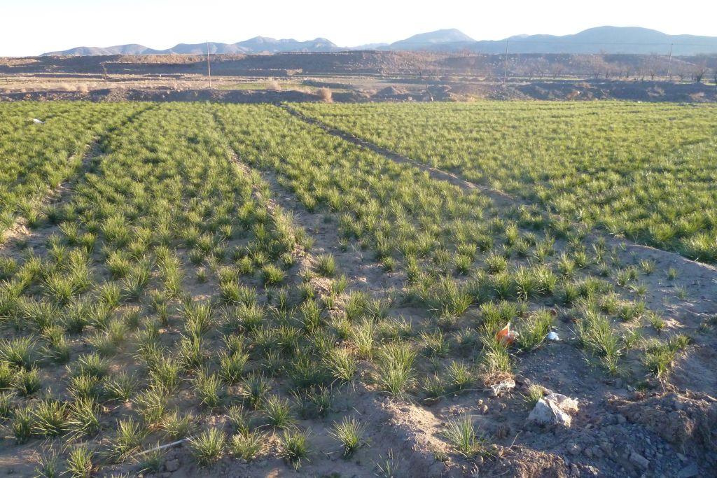 サフラン畑
