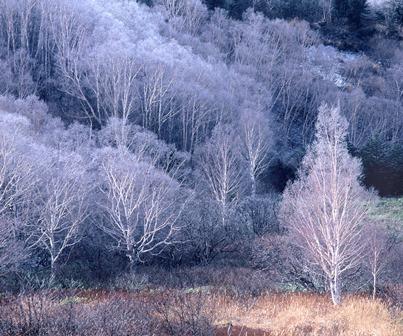 浄土白樺霧氷