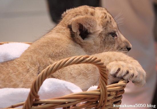 ライオン_1079