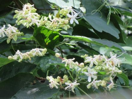 白鳥路の白い小花