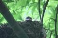 ヒヨドリの巣立ち-10