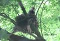 ヒヨドリの巣立ち-13