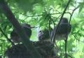 ヒヨドリの巣立ち-14