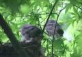 ヒヨドリの巣立ち-15