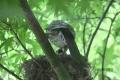 ヒヨドリの巣立ち-8